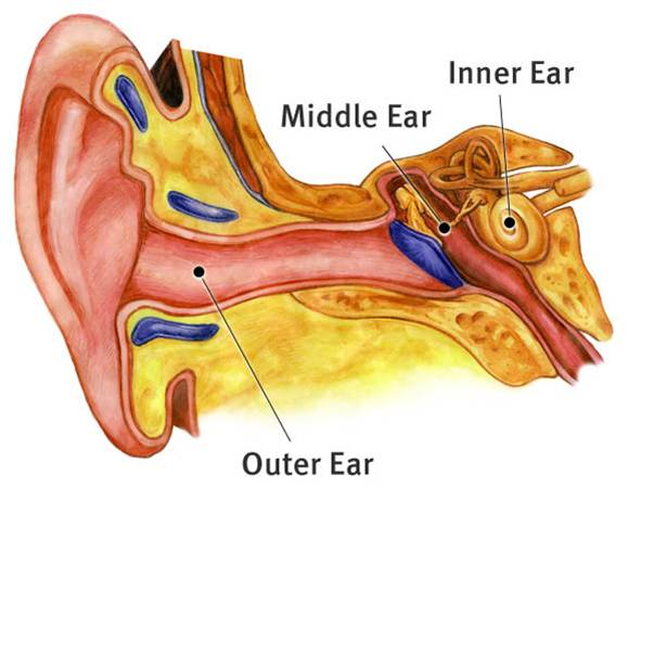 Simple-Ear-anatomy